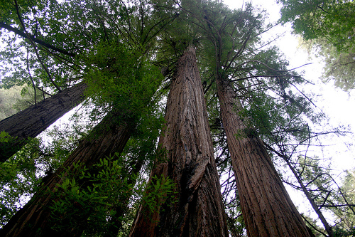 Redwoods Straight Up photo provided by Mel B. courtesy of Creative Commons